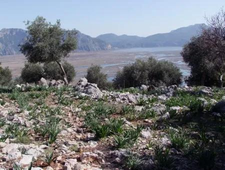 With Sea Views For Sale In Dalyan Çandır 16,769M2 Estate Estate Olive Grove Farm For Sale In Bargain