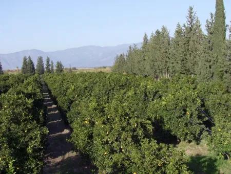Garden For Sale In Oriya Tepearasi Between The Peak 65,000M2 Orange Garden For Sale
