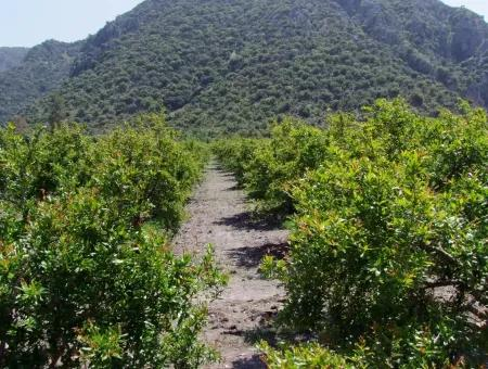 Pomegranate Garden In Dalyan For Sale: 5,000M2 Agricultural Plot For Sale At A Bargain