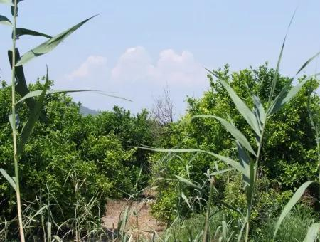 Lemon Garden For Sale In Sarigerme Oriya Oriya Zero-Path 83,670M2 For Sale In Farm And Garden