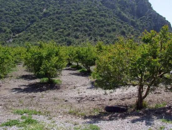 Dalyan Satılık Arsa Nar Bahçe 5,000M2 Kelepir Satılık Tarla Arsa